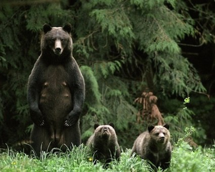 Bear Viewing, Bear Watching & Bear Tours, Tweedsmuir Park Lodge, Bella Coola, BC, Canada