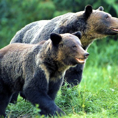 Grizzly Bear Viewing Tours