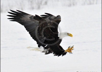 Michael Wigle Bald Eagle