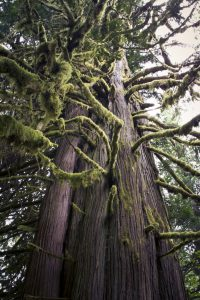 Biggest Cedar Tree